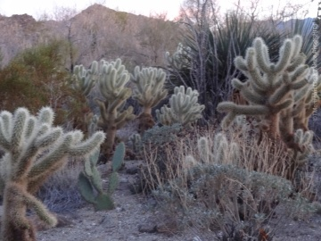 Chollas backlit at Twilight, The Living Desert gardens, Palm Desert CA